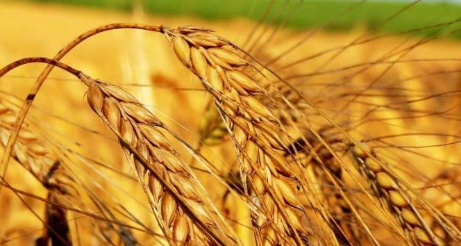 Kuraklık sigortası buğdayda başlıyor