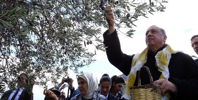 Cumhurbaşkanı Erdoğan ve eşi zeytin topladı