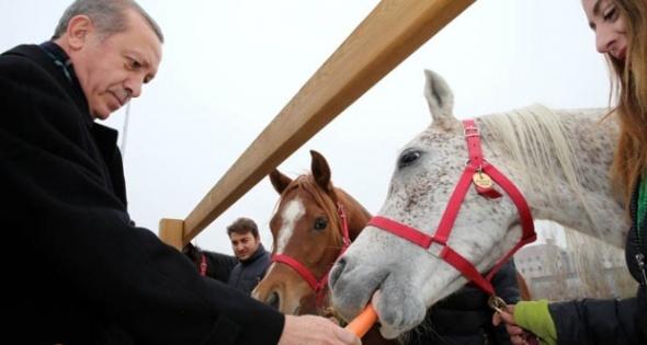 Cumhurbaşkanı Erdoğan, atlara havuç yedirdi
