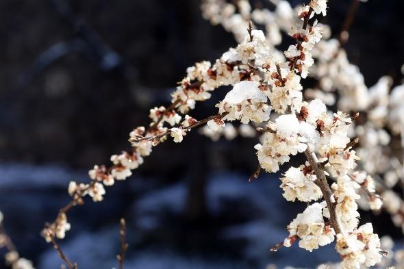 Çiçekler buz açtı