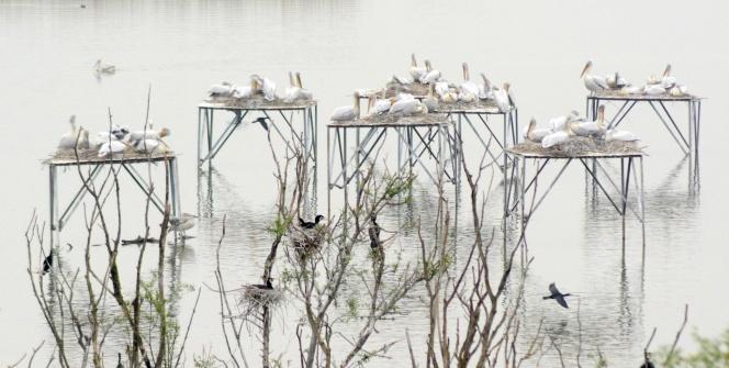 Pelikanların aşk yuvası