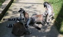 2 günlük Lemur hayvanat bahçesinin yeni maskotu