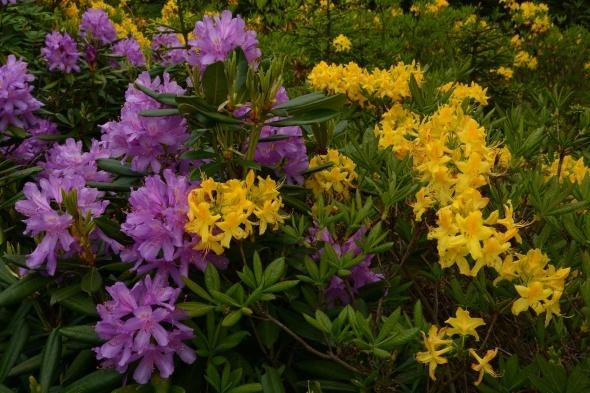 Karadeniz yaylaları çiçek açtı