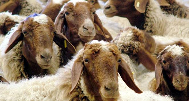 İngilterede esrar kalıntılarını yiyen koyunlar, köyü talan etti