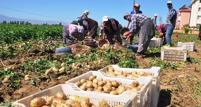 Pazarcılar satılmayan patatesleri çöpe dökmeye başladı