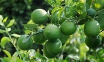 Limon diyarında hasat 1 lira 20 kuruşla başladı