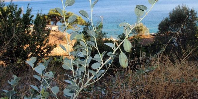 Her derde deva bitki: Kapari