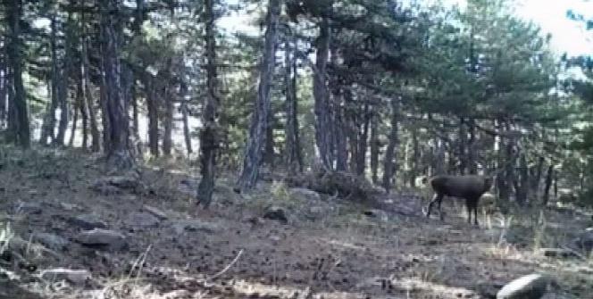 Beypazarı'nda hayvanlar fotokapana takıldı