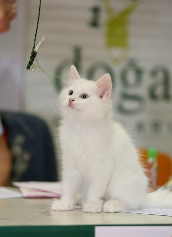 Dünyanın en güzel kedileri birincilik için yarıştı