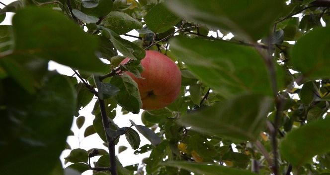(Özel Haber) 7 yıl sonra gelen esrarengiz meyve