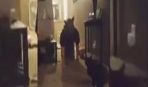 Kediye kurt adam şakası yapılırsa...