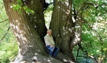 Türkiyenin en yaşlı kestane ağacı Kütahyada