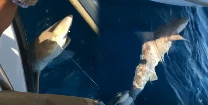 Oltasına 2 metre boyunda köpekbalığı takıldı