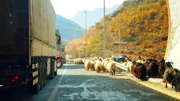 Koyun sürülerinin göç yolculuğu başladı