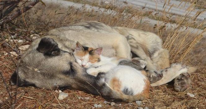 Tokat'ta kedi ile köpeğin şaşırtan dostluğu