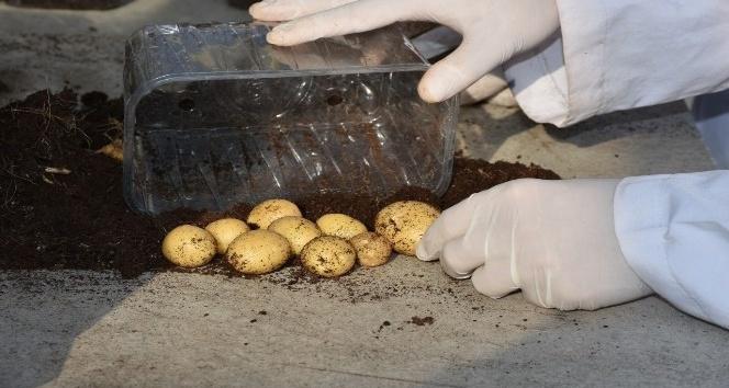 Patates Araştırma Enstitüsü patates hasadına devam ediyor