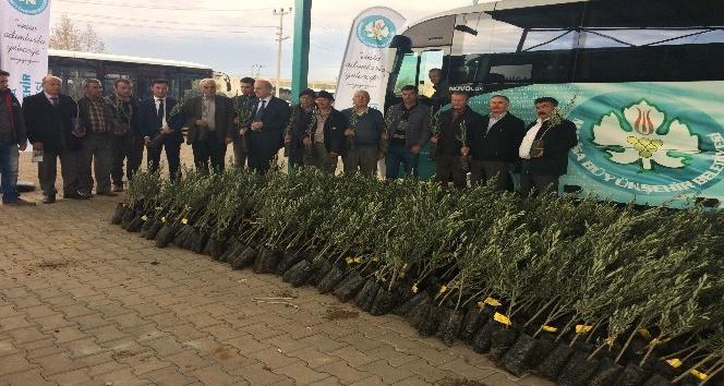 Ahmetlili üreticilere de zeytin fidanı dağıtıldı