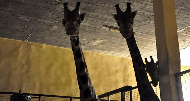 Darıcadaki zürafa ailesine 2 yeni üye daha katıldı