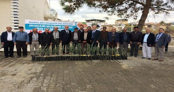 Salihli'de üreticilere zeytin fidanı