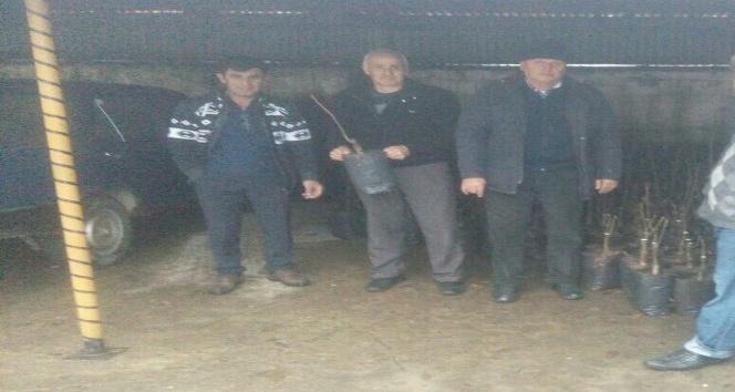 Cide'de çiftçilere ceviz fidanı dağıtıldı
