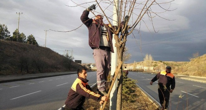 Sungurlu'da Ağaçlar Budandı