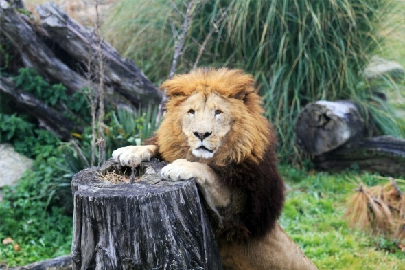 Aslanların nefes kesen kış idmanı