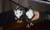 Güvercinleri hırsızlardan saklamaya başladılar!