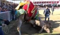100 ünlü güreş devesi, kapalı spor salonu için güreşti