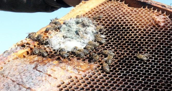 (Özel Haber) Arıların en büyük düşmanı 'Yalancı Bahar'