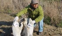 Tepeli pelikan Söke Ovası'nda ölü bulundu