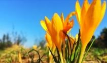 Baharın müjdeleyicisi İstanbulensis çiçeği açtı