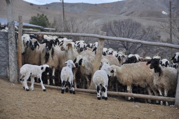 Koyun ve kuzuların duygusal buluşması