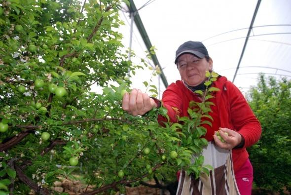 Yılın ilk eriği Rusya için hasat edildi