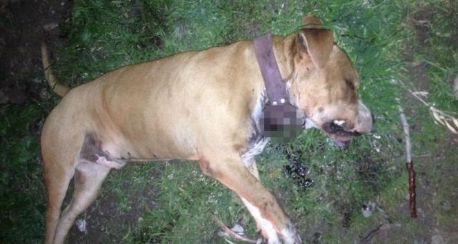 Manisada Boxer cinsi köpek bıçaklanarak öldürüldü | Manisa haberleri