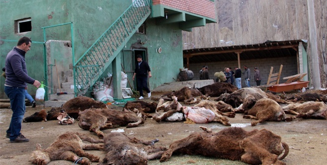 Çobanın ilgilenmediği 20 büyükbaş hayvan telef oldu