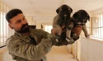 Zengin Arapların satın alamadığı tek hayvan: Sivas Kangalı