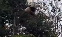 Sevimli panda korkuttu