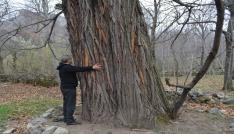 Asırlık kestane ağaçlarını kestiler