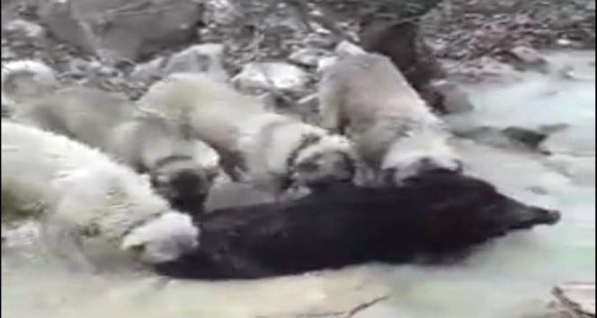 Çoban köpekleri domuzu telef etti
