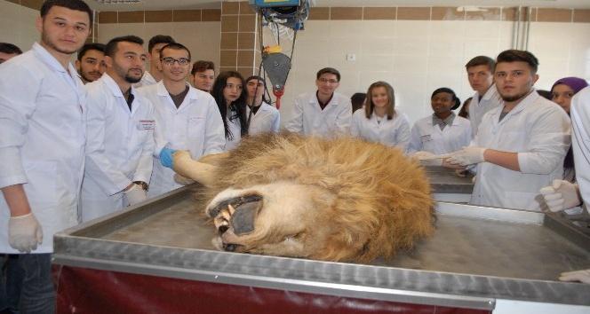 Şanslı veteriner adaylarına aslanlı eğitim