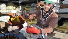 Bafrada aşılı ceviz üretim hedefi aşıldı