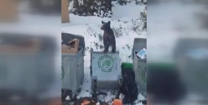 Uludağ'da aç kalan ayı çöpte yiyecek aradı