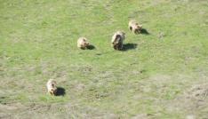 Beslenmeye inen anne ayı ve yavruları görüntülendi