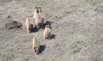 Tuncelide anne ve yavru ayılar görüntülendi