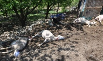 Merada otlayan koyunlar telef oldu