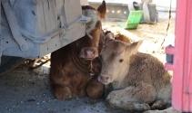Amasya'da çarpışan 2 tırdaki hayvanlar yola savruldu