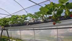Sinopta topraksız çilek üretiminde yüzde 100 başarı