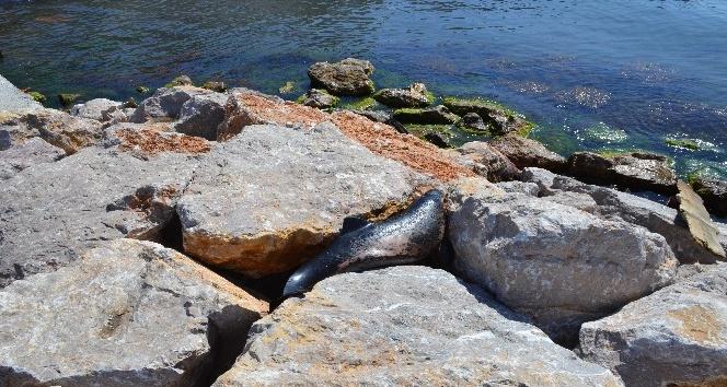 Sinopta yunuslar sahile vurdu