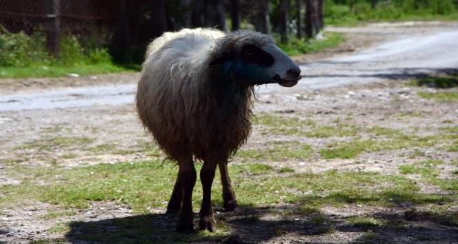 Sinopta ahıra giren kurt 4 koyunu telef etti