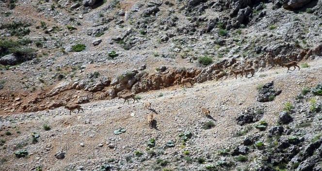 (Özel haber) Koruma altındaki dağ keçileri suya inerken görüntülendi